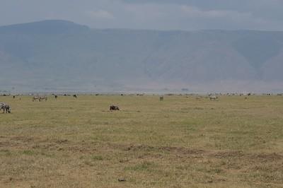 Herds of Zebra and Wildebeest at the crater floor