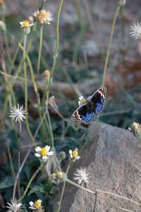 Junonia orithya