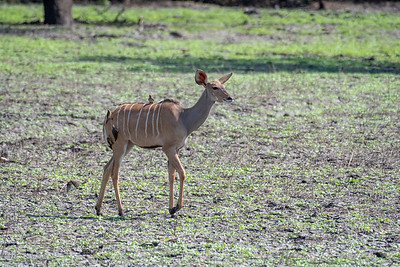 Greater Kudu giving red-billed oxpecker a lift