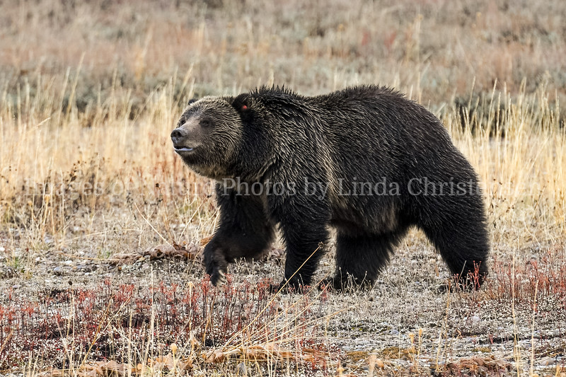 Grizzly Posing