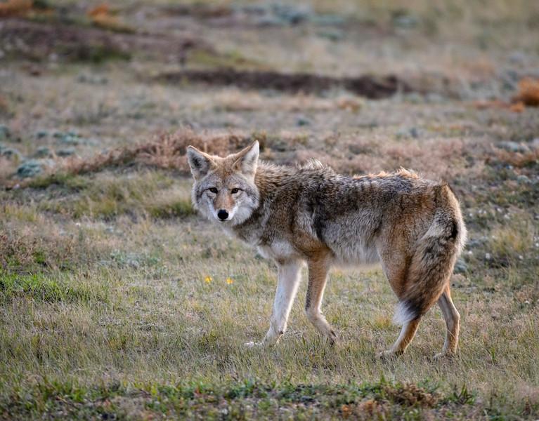 Hunting Cayote #2