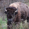 Bison And First Snow