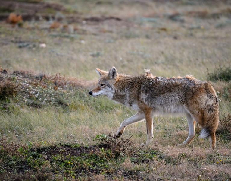 Hunting Cayote