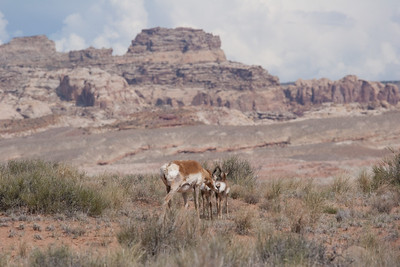 Pronghorn Antilope