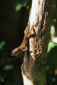 Lizard, Reef Bay trail