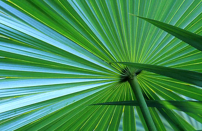 Palm frond, Reef Bay trail