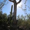 Dead Saguaro Standing