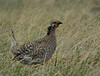 Sharp-tailed Grouse (Male)