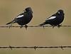 Lark Buntings (Males)