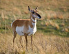 Pronghorn Antelope (Female)