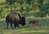 Bison with newborn calf