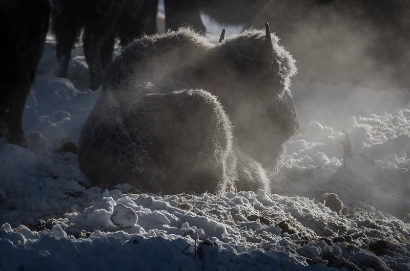 Bison Calf in Winter
