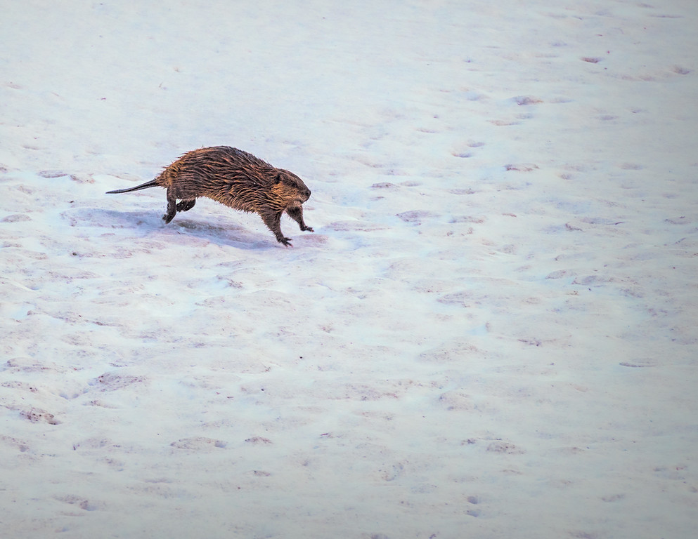 Running Beaver