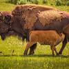 Nursing Bison