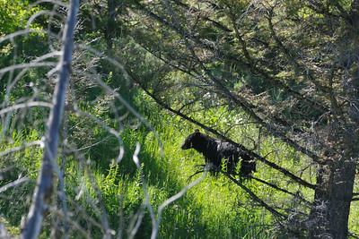 Black bear mother