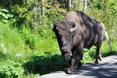 Bison walking down road