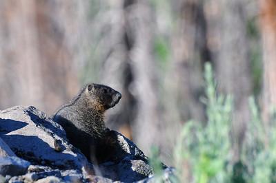 Marmot profile