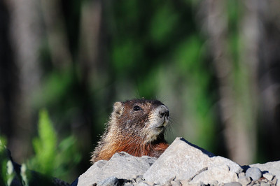 Marmot peaking over rock