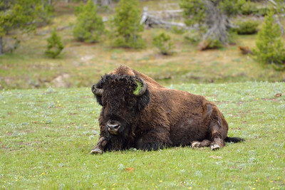 Bison with Pine Needles and horns askew
