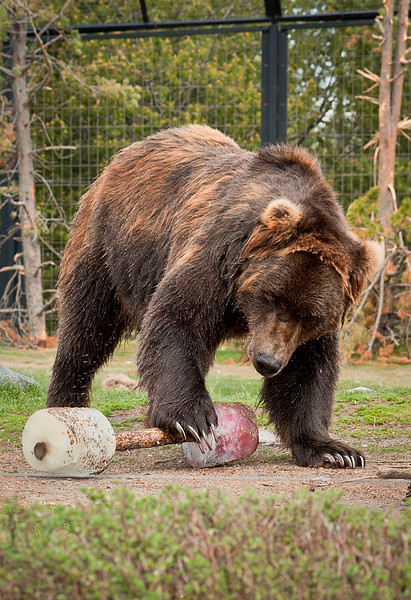 Dominant Grizzly at the Discovery Center in West Yellowstone.