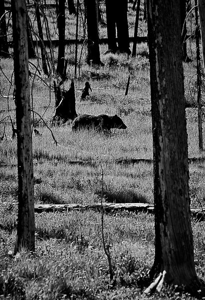 Grizzly that crossed our pass on our way into Yellowstone from the east entrance the morning of day 4.  After crossing the road he headed to the lake.  We proceeded to a parking pull off about a block away and watched as he made his way south passing in front of us.