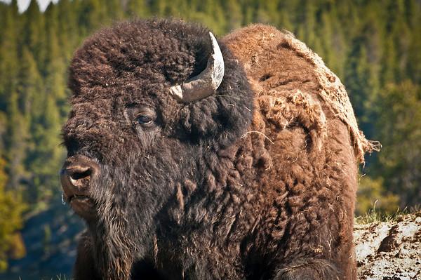 Wild American Buffalo.