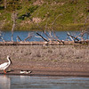 Pelican and ducks take a rest on Yellowstone Lake