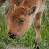 Close up of another calf by the road.