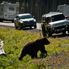 Grizzly that crossed our pass on our way into Yellowstone from the east entrance the morning of day 4.   He made it to the road.  These folks are two closs.  A Grizzly can sprint up to 40 miles per hour.