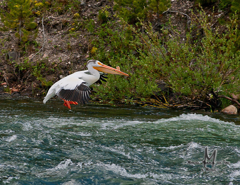 _JMG1558: Pelican coming in for a landing at the LeHardy Rapids.