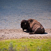 "While hiking ""Storm Point Trail"", we came upon his Buffalo lounging by a spur of Yellowstone Lake."