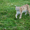 Bobcat at Bear Country