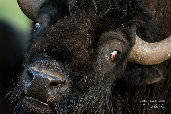 Bison (Buffalo) at Lamar Valley