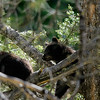 Black Beer cubs in a tree.