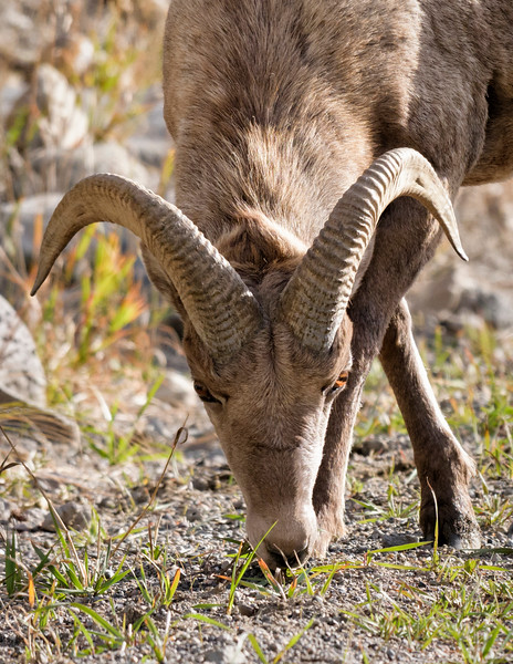 Young Big Horn Ram