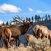 Bull Elk with Ewes Herd