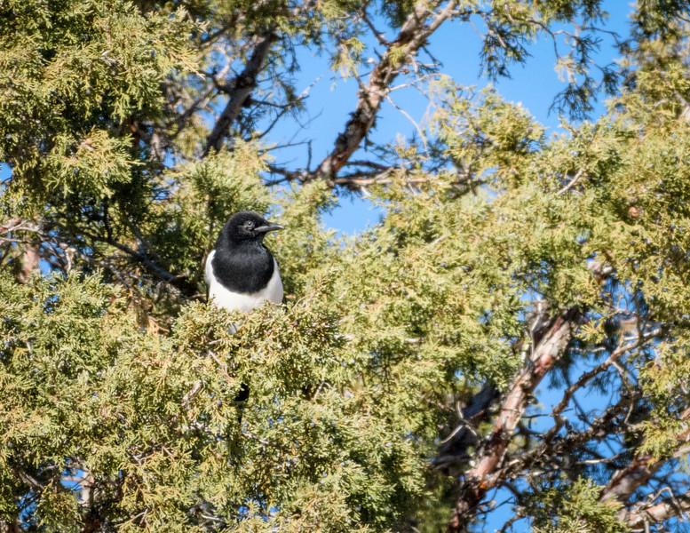 Blackbill Magpie