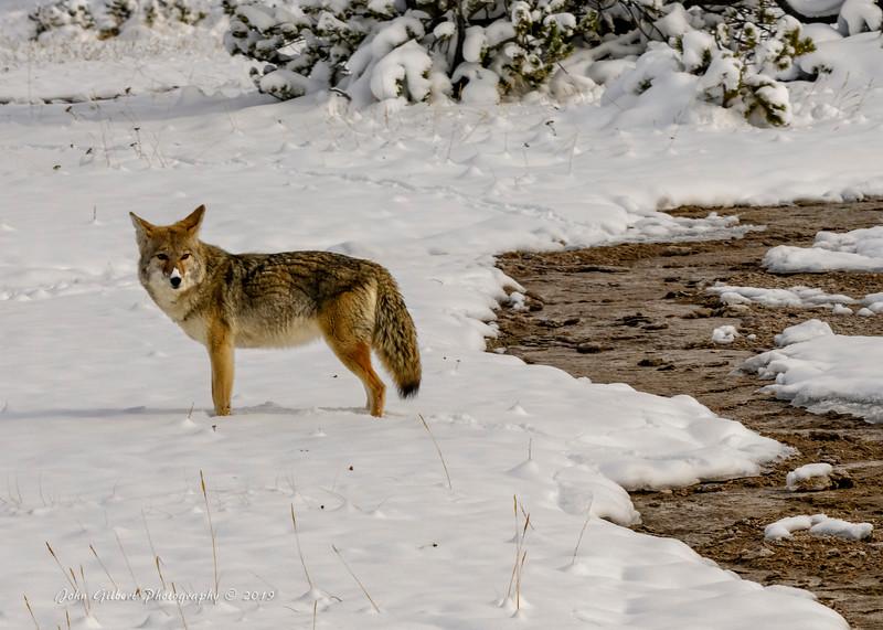 Coyote #3