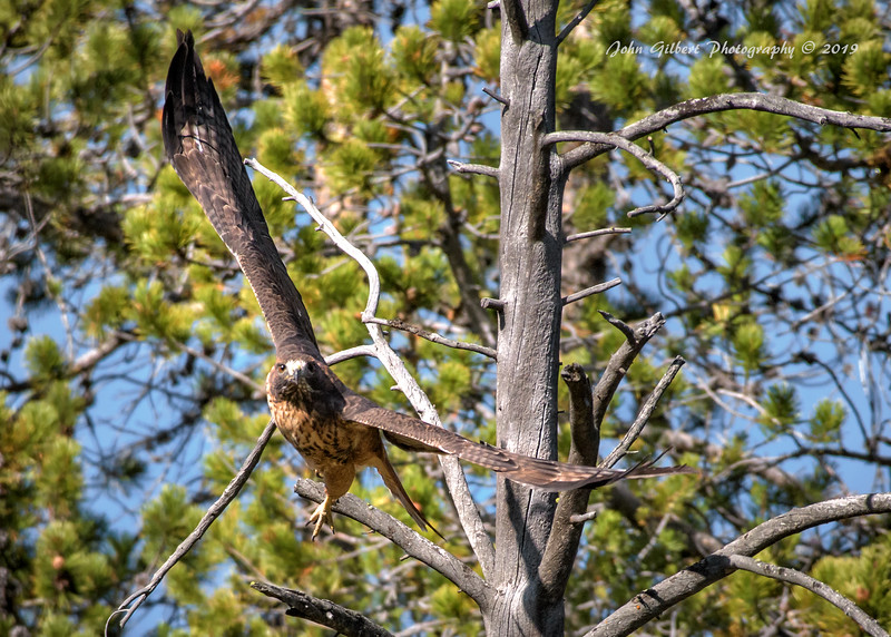 Rufous Morph Red-Tailed Hawk #3