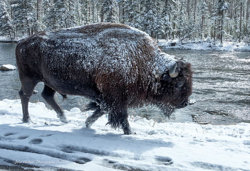 American Bison #4