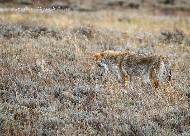 Coyote #2