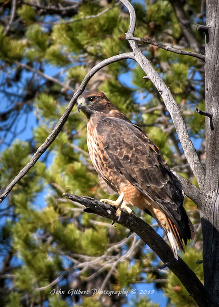 Rufous Morph Red-Tailed Hawk #2