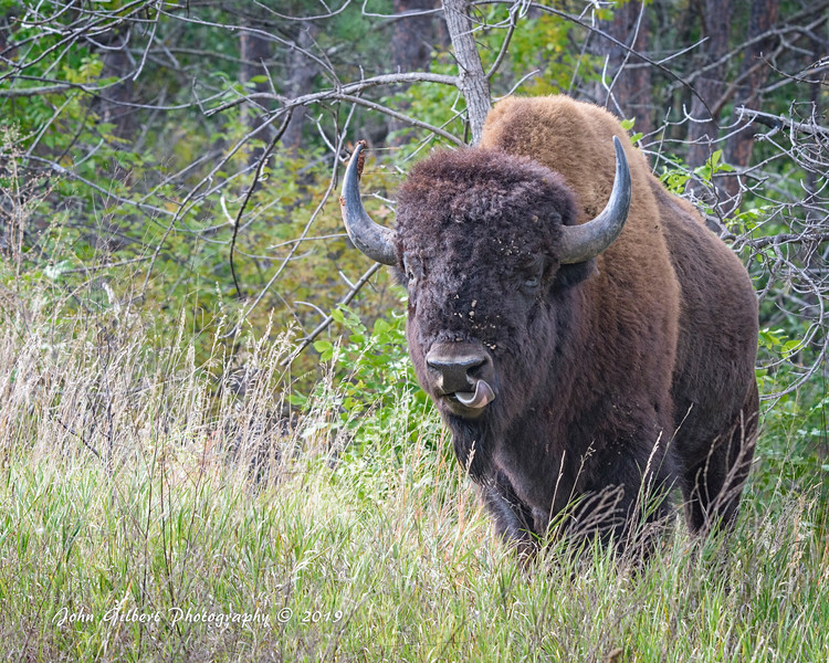 Custer Bison