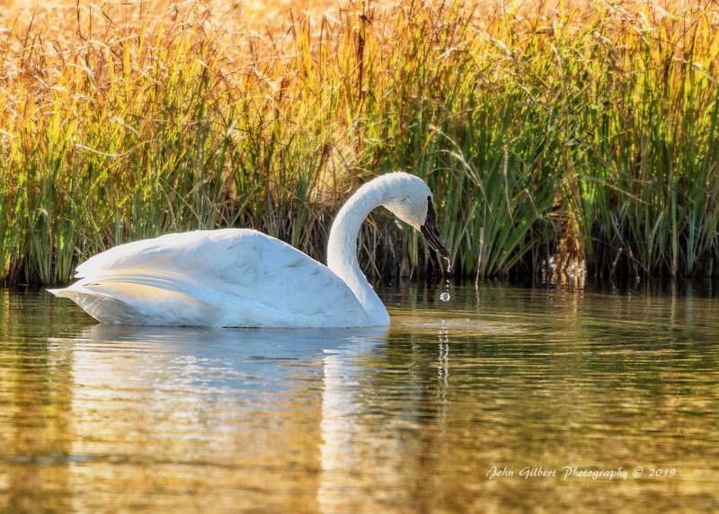 Trumpeter Swan #1