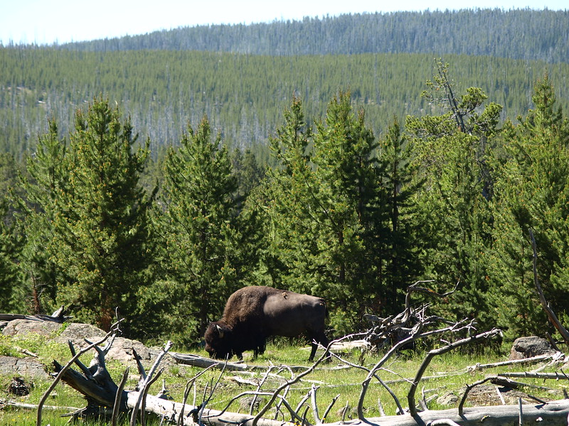 Bison on the Trail (IV)