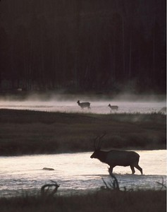Predawn on the Madison River in mid-September the bull elk were busy trying to keep the cows herded together.