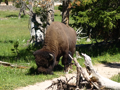 Bison on the Trail (III)