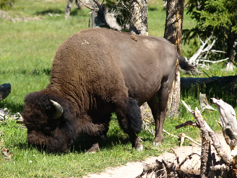 Bison on the Trail (II)