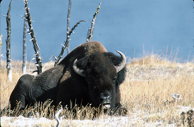 This Bison is suning himself in the middle of the day.  The white substance is not snow but calcium residue from the geysers and steam leaks around.