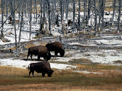 These bison are grazing and being watched by the elk amoung the trees.